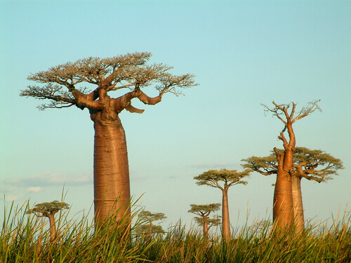Madagascar: The man-eating tree